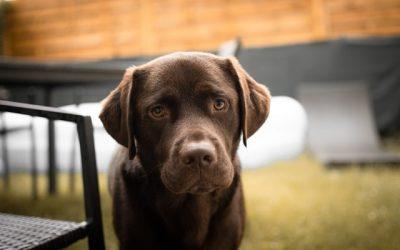 Do Labrador Retrievers Shed?