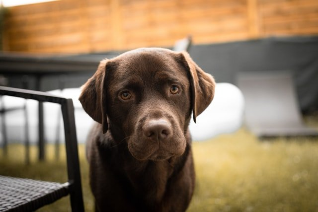 Do Labs Shed?