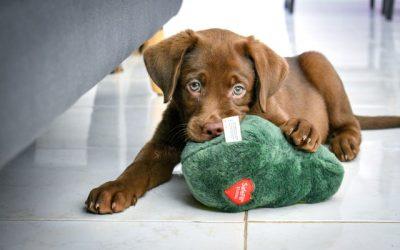 Best Practices for Feeding Your Labrador Retriever
